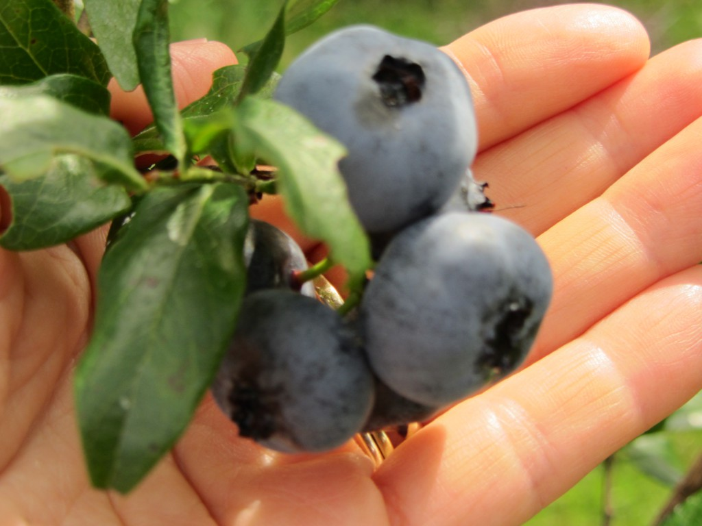 "Don't they always say, ""A blueberry in hand is better than a blueberry on the bush""?"