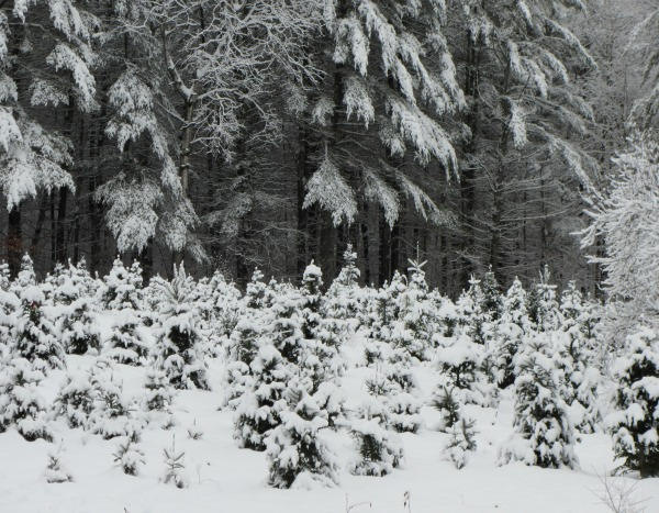 WinterField.bigtrees.xmastrees. Christmas trees and snow